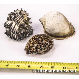 Mini Conch Shells
